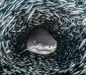 Online poker sharks versus fish